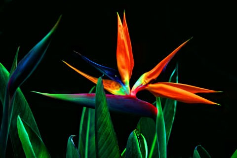 Multi-colored Birds of Paradise flowers